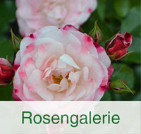 Kategorienbild-Galerie-Rosen